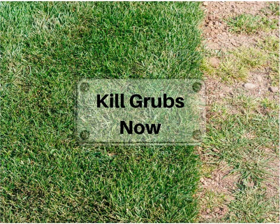 Grubs & moles are destroying your grass – 15  solutions to reclaim your lawn