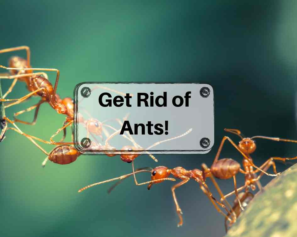 Getting Rid of Ants and Keeping Them Away